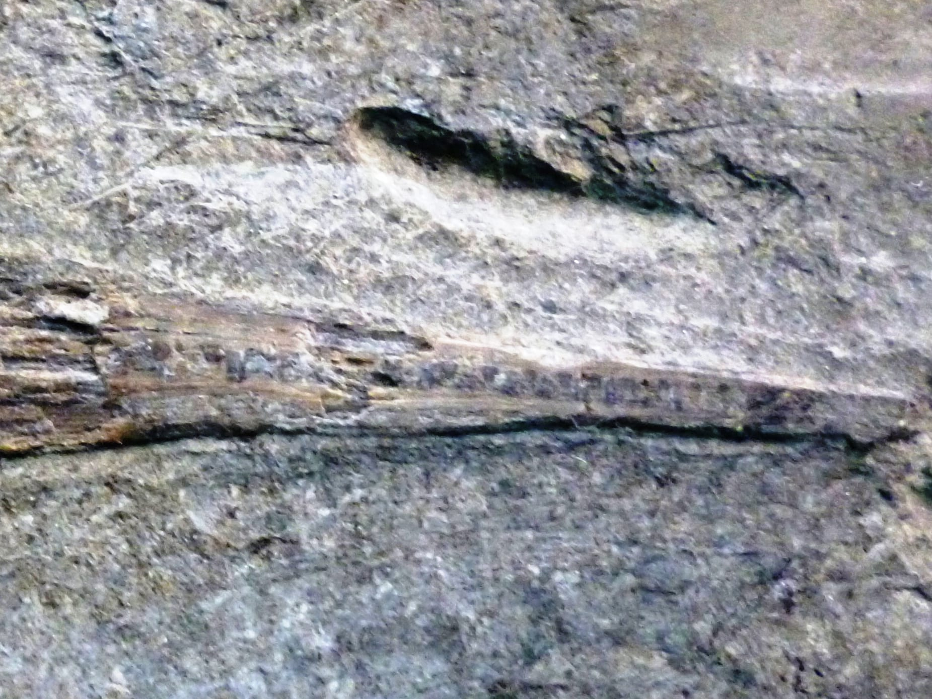 Image of a very poorly realised fossil fish specimen LDUCZ-V1523 Acidorhynchus acutus from the Grant Museum of Zoology UCL