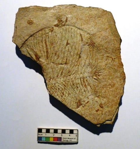 Image of LDUCZ-V1524 Fossil of  Proscinetes