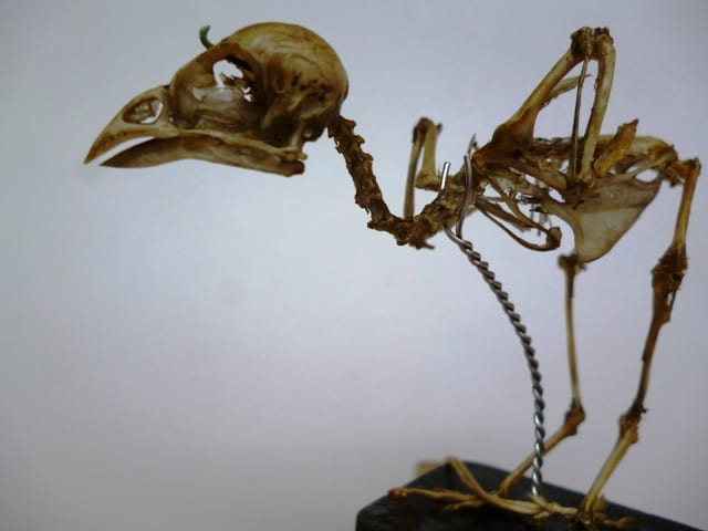 Image of Grant Museum sparrow skeleton