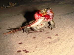 Dead cane toad with tongue stick to rock. (C) Jack Ashby