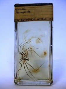 Pentanymphon antarcticum LDUCZ-J155