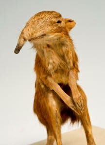 Taxidermy of an elephant shrew standing on its hindlegs with its forelimbs tucked in front on it
