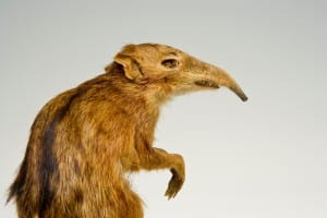 Elepahnt shrew taxidermy in side profile of the upper body and head