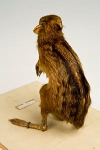 Rear view of elephant shrew taxidermy  highlighting the stripes and dots of the dark brown fur