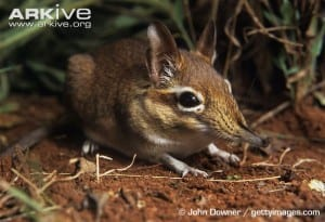 Rufous elephant shrew (Elephantulus rufescens) image obtained from www.arkive.org