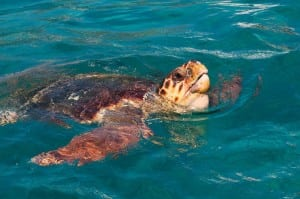 Adult loggerhead turtle at sea. Image taken by Funfood obtained from commons.wikimedia.org