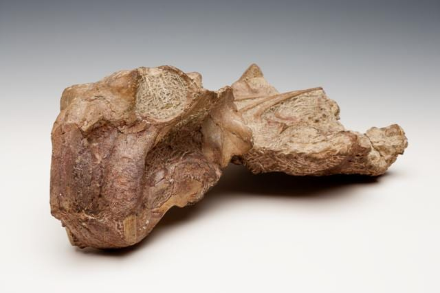 Image of specimen LDUCZ-X1053 Lystrosaurus curvatus fossil from the Grant Museum of Zoology UCL