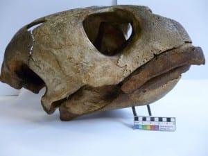 Loggerhead turtle (Caretta caretta) LDUCZ-X11