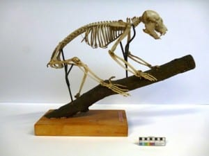 Potto skeleton (Perodicticus potto)  LDUCZ-Z407