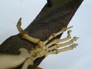 Potto (Perodicticus potto) hind limb. LCUDZ-Z407