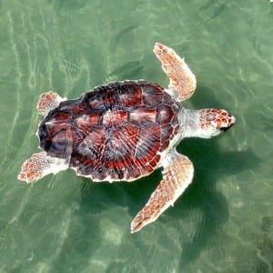Adult loggerhead turtle. Image taken by Turtle Excluder Devices obtained from commons.wikimedia.org