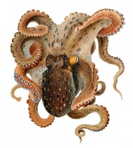Illustration of common octopus taken by Comingio Merculiano in Jatta Giuseppe obtained from http://commons.wikimedia.org