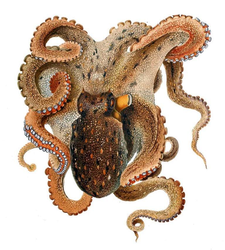 Common Octopus Swimming Illustration of Common Octopus