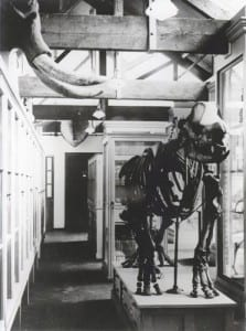 The rhino on his old iron frame in the 1930s.