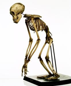 This infant chimpanzee skeleton will be conserved as part of Bone Idols