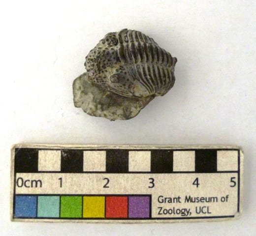 Image of LDUCZ-J7 Encrinurus punctatus fossil from the Grant Museum of Zoology UCL