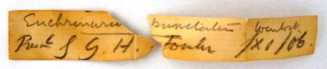 Label for LDUCZ-J7 which reads Enchrinurus [sic] punctatus Wenlock presnd by G.H.Fowler /XI/06.