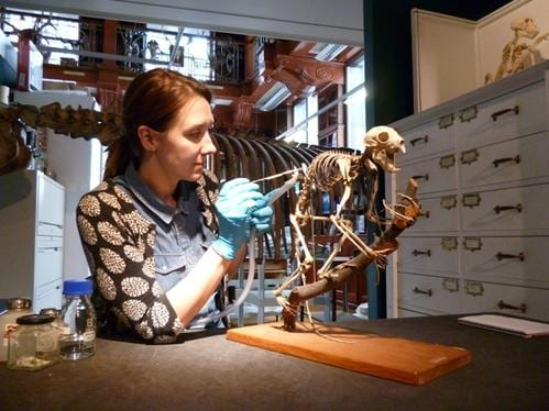 Our Conservator Emilia Kingham working on  the aye-aye skeleton in the gallery