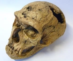 LDUCZ-Z2020 Homo neanderthalensis skull cast