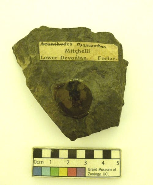 Image of LDUCZ-V1531 Mescanthus mitchelli fossil specimen from the Grant Museum of Zoology UCL