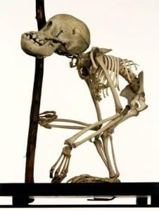 Infant orang-utan Pongo sp. LDUCZ-Z2064