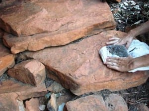 An endemic Kimberley rock rat being re-released