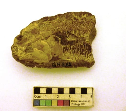 Image of LDUCZ-V609a fossil of Perleidus sp. from the Grant Museum of Zoology UCL