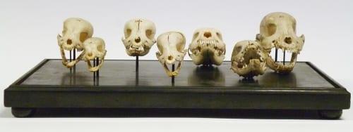 LDUCZ-Z2909 Canis lupus familaris