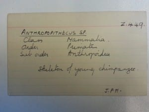 "Index card for the infant chimp, with the woefully out-dated genus ""Anthropopithecus"""
