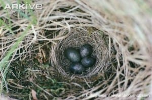 cuckoo egg in a meadow pipit nest. Can you spot the difference?