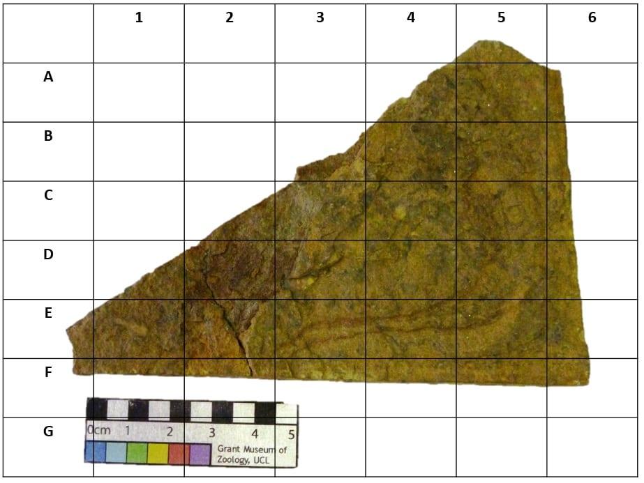 LDUCZ-V797_IMG2 - Birkenia_elegans-find the fossil