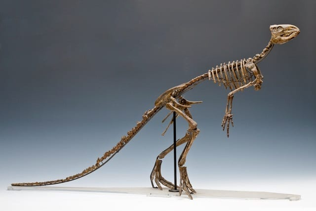 Image of LDUCZ-X185 cast of skeleton of Hypsilophodon foxii from the Grant Museum of Zoology UCL