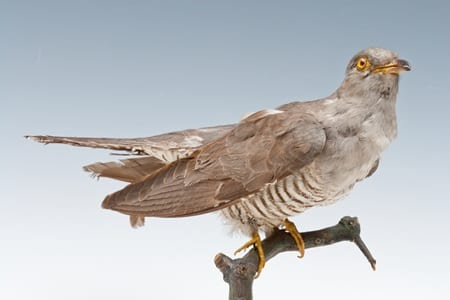 LDUCZ-Y1546 common cuckoo (Cuculus canorus) taxidermy