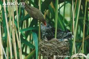 reed warbler feeding a cuckoo chick. Can you spot the difference?