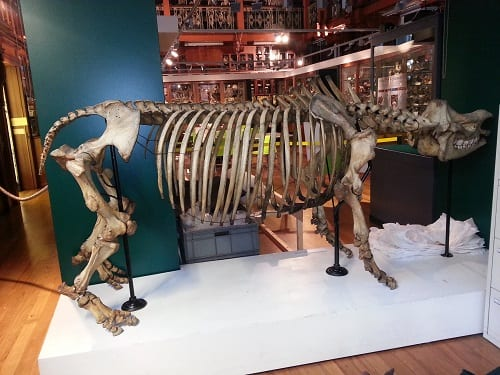 "A view of the ""new"" rhino from within the Museum office (we believe that ours is the only office in the world with a rhino for a wall), showing that the legs all fit, and the spine is correctly positioned"