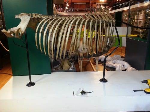 The rhino being reassembled - the new position has the hips higher than the shoulders, with the neck angled down.