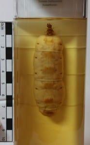 LDUCZ-L87 Termite queen Macrotermes bellicosus
