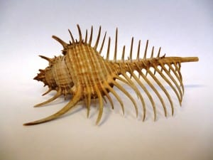 LDUCZ-P190 Murex pecten, Venus comb shell