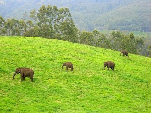 Wild Elephants, Munnar Aruna at ml.wikipedia [CC BY-SA 3.0 (http://creativecommons.org/licenses/by-sa/3.0)], via Wikimedia Commons