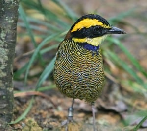 Javan banded pitta (Pitta guajana) taken by Doug Janson obtained from http://commons.wikimedia.org