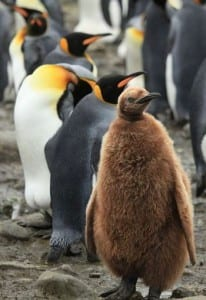 King penguin chick. Image by Liam Quinn; CC-BY-SA-2.0; via wikimedia commons