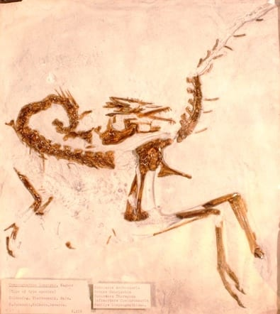 Image of LDUCZ-X418 cast of Compsognathus longipes from Grant Museum of Zoology UCL