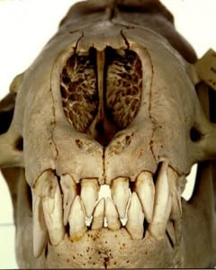 LDUCZ-Z1125 leopard seal (Hydrurga leptonyx) skull - note the teeth!