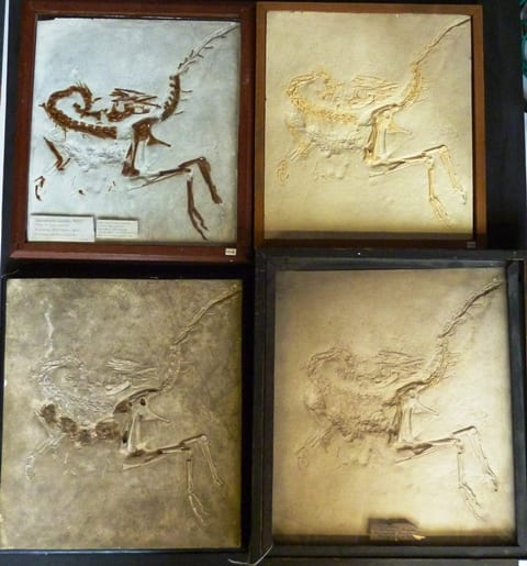 Image of the four Grant Museum casts of Compsognathus longipes