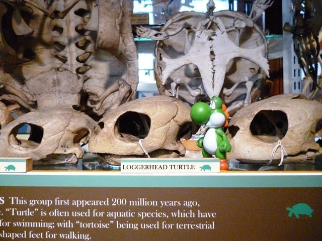 Image of Yoshi with Turtle skulls at the Grant Museum UCL