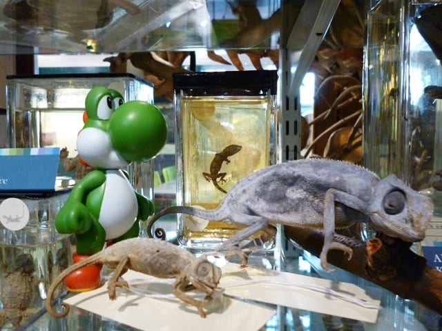 Image of Yoshi with Chameleons at the Grant Museum of Zoology UCL