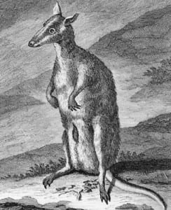 A New Guinean dusky pademelon by De Bruign in 1711. the first confirmed European depiction of a macropod.