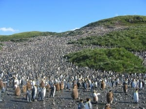 king penguin colony. Image by Pismire; CC-BY-SA-3.0 via wikimedia commons.