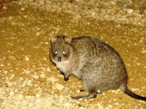A quokka: one of the first Australian mammals to be described. (C) Jack Ashby
