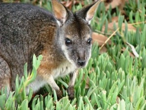 A tammar wallaby - the first Australian mammal to be described. (C) Jack Ashby